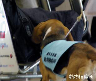 検疫探知犬