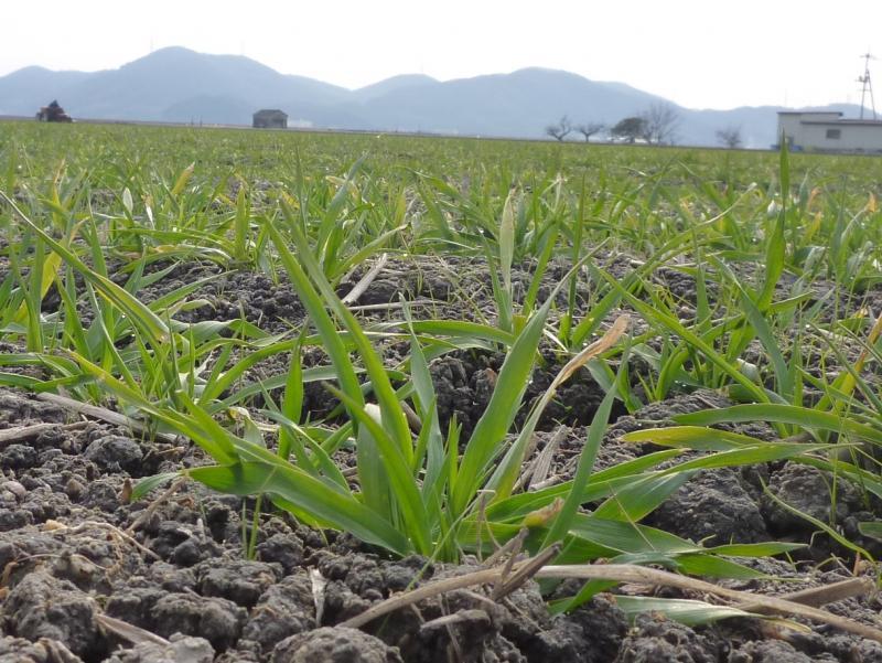 干拓地の麦02