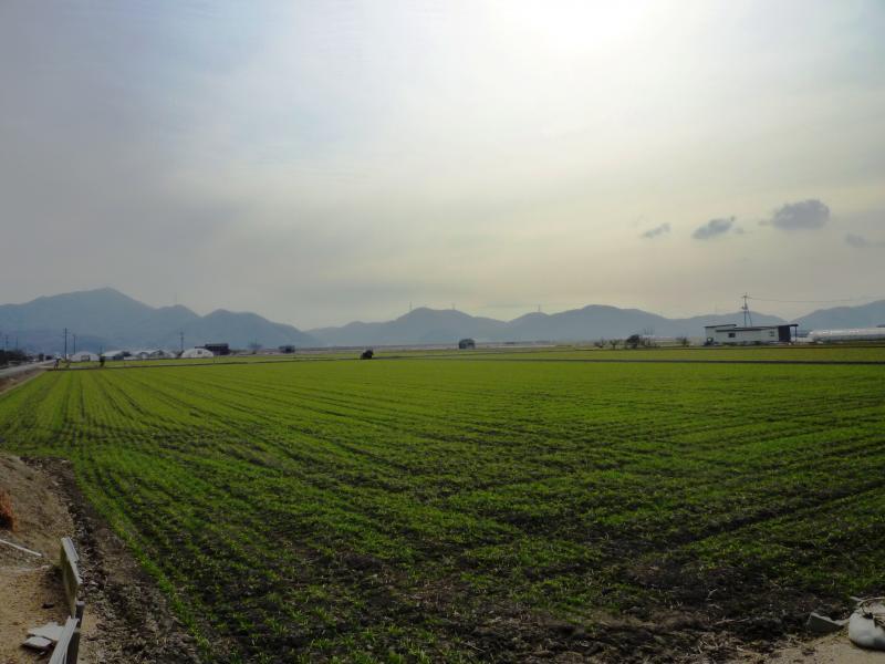 干拓地の麦01