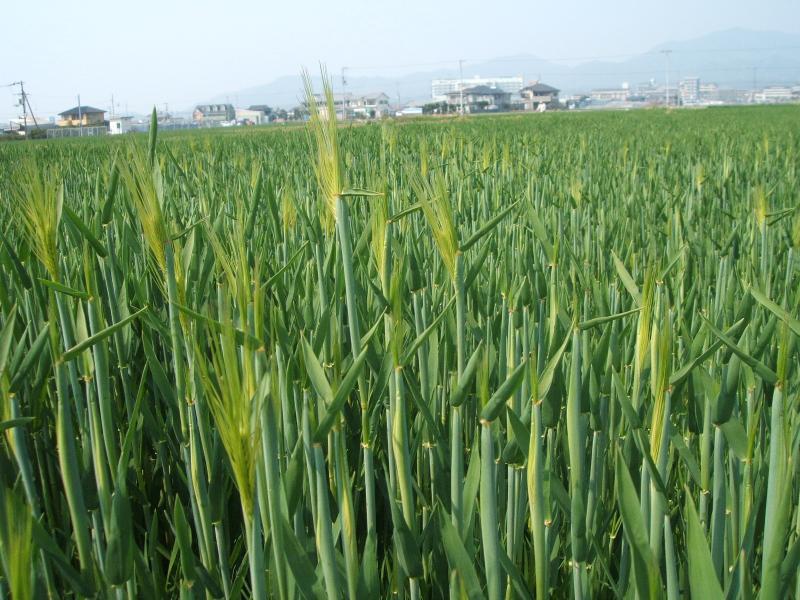 裸麦の出穂始まる
