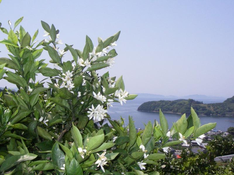 みかんの開花
