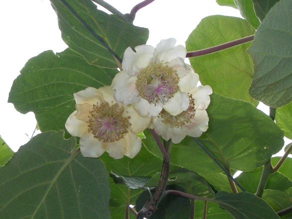 キウイフルーツ花満開