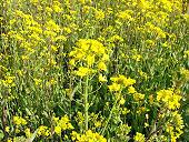 黄色のじゅうたん・菜の花 2008年3月28日  東広島市福富町