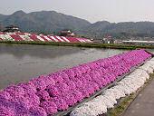雑草を防ぐため、田ののり面に植え付けたシバザクラが満開(平成20年4月30日 東広島市豊栄町)