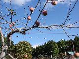 りんごが実る風景