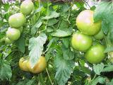収穫間近のトマト