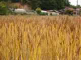 収穫間近の小麦