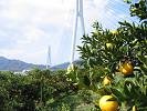 しまなみ海道と柑橘