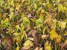 収穫間近のくわい '07.11.26 福山市