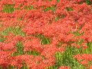 ヒガンバナの赤いじゅうたん 2007年10月1日 三次市吉舎町
