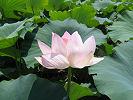 れんこん田に咲く蓮の花 '07.8.20 世羅町