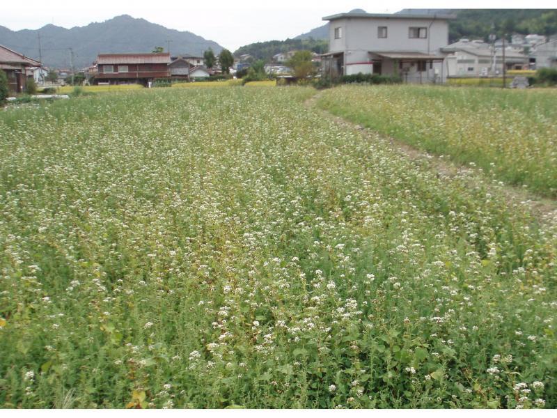 花が咲きほこるそば畑