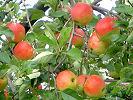 色づき始めたりんご '07.8.23 庄原市高野町