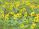 満開のひまわり '07.8.13 廿日市市吉和地区