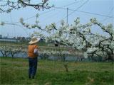 丸亀市 梨の受粉作業 平成19年4月10日