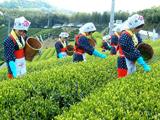 三豊市 一番茶の茶摘作業 平成19年4月19日