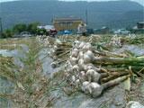 琴平町 にんにくの収穫作業 平成19年5月15日