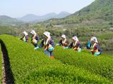 三豊市 一番茶の収穫作業 平成20年4月19日