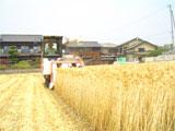 高松市 はだか麦の刈り取り作業 平成20年5月23日