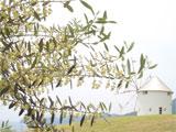 小豆島町 オリーブの開花の様子 平成20年5月28日
