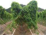 さぬき市 自然薯 平成20年9月2日