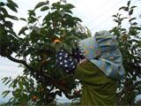 高松市 松本早生の収穫作業 平成20年10月24日