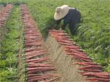 坂出市金時にんじんの収穫作業