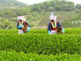 一番茶の収穫作業