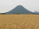 丸亀市小麦