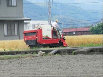 小麦の収穫の様子