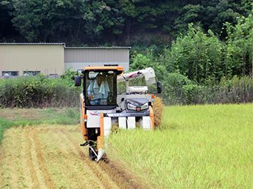 コシヒカリの収穫の様子