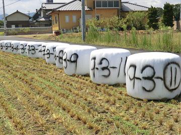 収穫されたWCS用稲