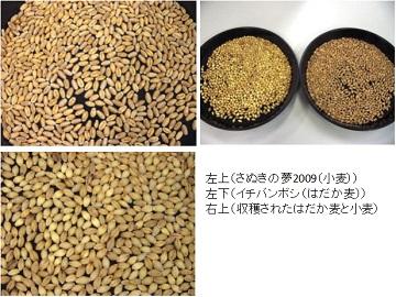 130614小麦3