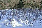 雪化粧したみつまた畑