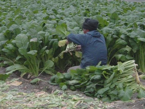 野沢菜の収穫 平成19年11月(板野町)