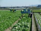 レタスの収穫作業