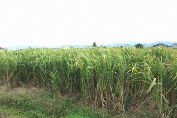 収穫前のサトウキビ