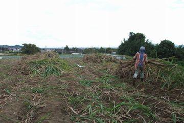 サトウキビ収穫