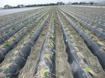 植え付けられた芋苗の様子