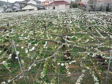 日本なし(豊水)の開花の様子