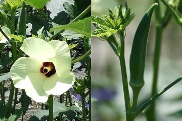 おくらの花と実