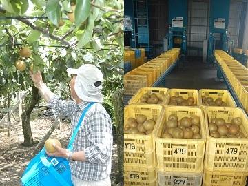 収穫作業と出荷された豊水