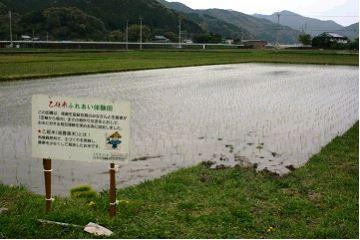 乙姫米が植わった水田