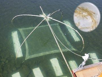 四つ手網を水底に沈めて待ちます