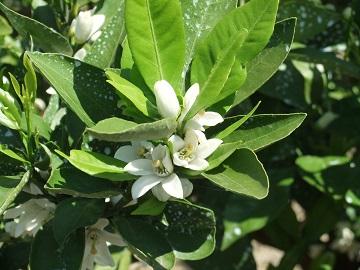 温州みかんの開花の様子