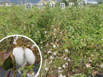 伯州綿の収穫