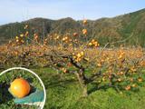 収穫を迎えた花御所柿の樹園地