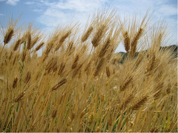 はだか麦の収穫