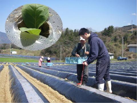 釜ゆでひじきの生産が始まる(愛媛県西宇和郡)