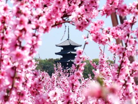 ももの花が満開(岡             山県総社市)